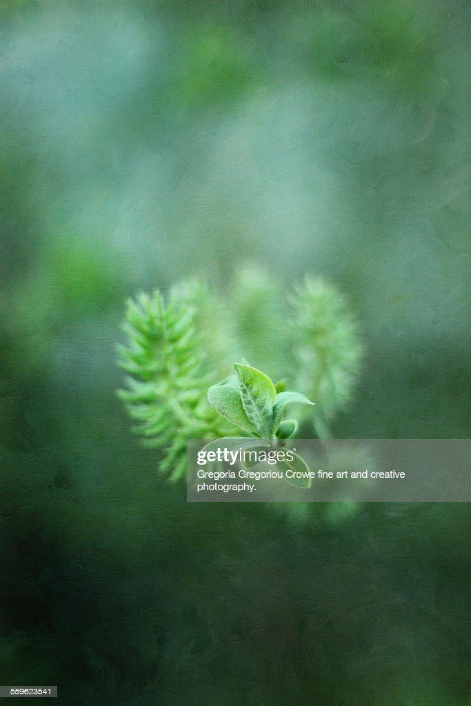 Willow Tree Buds : Stock Photo