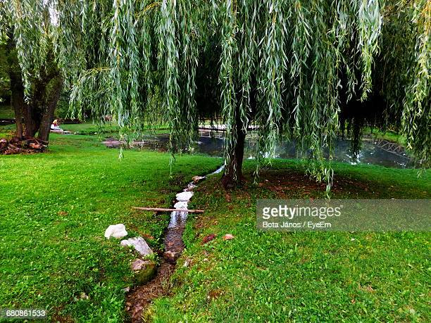 Willow Tree Growing On Grassy Field At Park