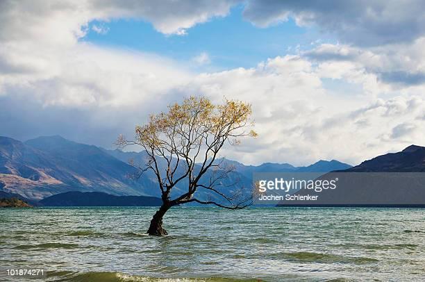 Willow tree, Lake Wanaka