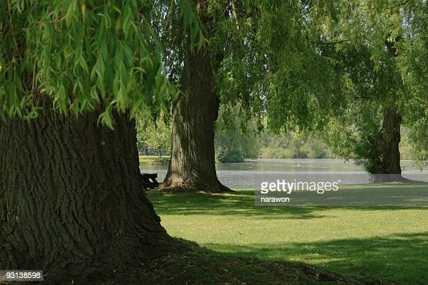Willow Trees beside pond