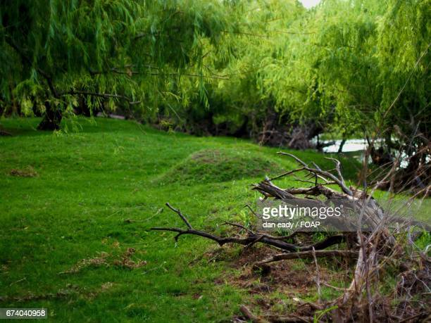 Willow trees growing at riverbank