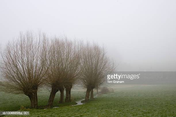 Willow Trees In Fog, Oxfordshire, UK