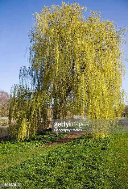 Willow trees in spring in Castle Park Colchester Essex England