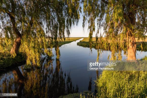 willow trees next to a calm canal - george wood stock pictures, royalty-free photos & images