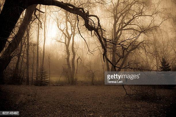 Willow trees  with thick fog