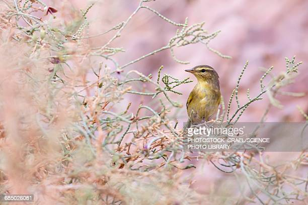 willow warbler phylloscopus trochilus - photostock stock photos and pictures