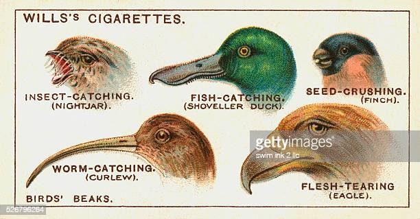 Will's Cigarettes Trade Card with Five Types of Birds' Beaks
