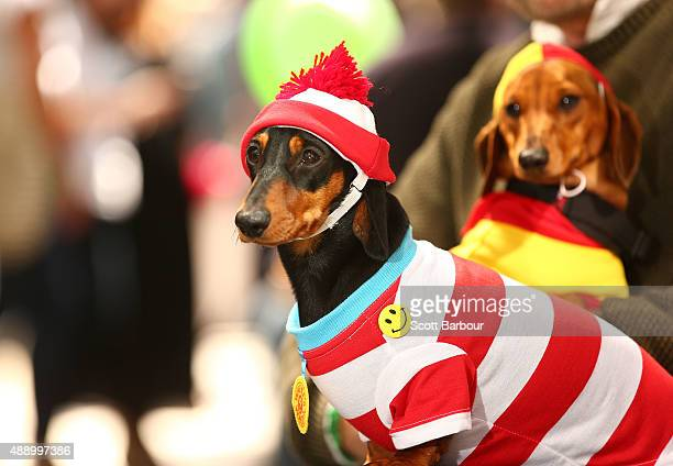 Willy dressed as a surf livesaver and Mia dressed as Where's Waldo compete in the Hophaus Southgate Inaugural Best Dressed Dachshund competition on...