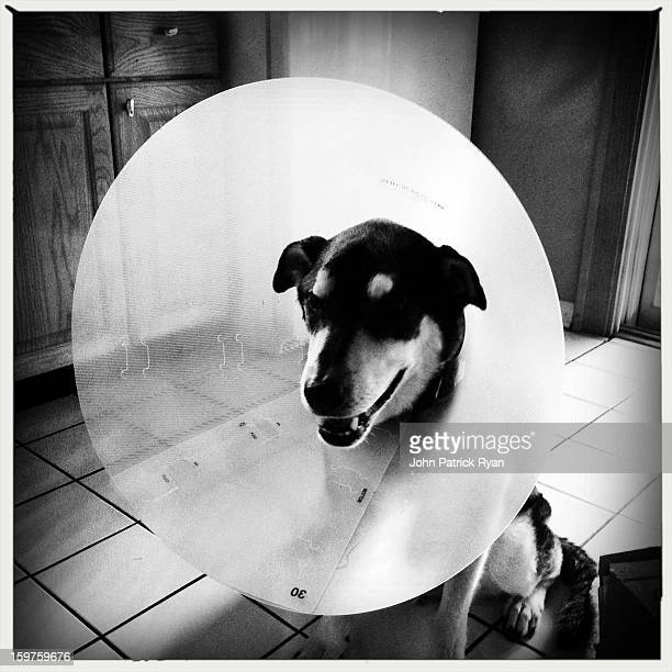 Wilson the Dog wears the Cone of Shame during his recovery from recent illness