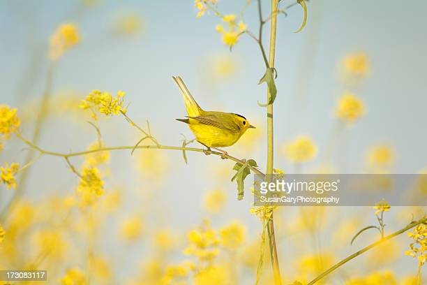 wilsons warbler perched in wild mustard - yellow perch stock photos and pictures