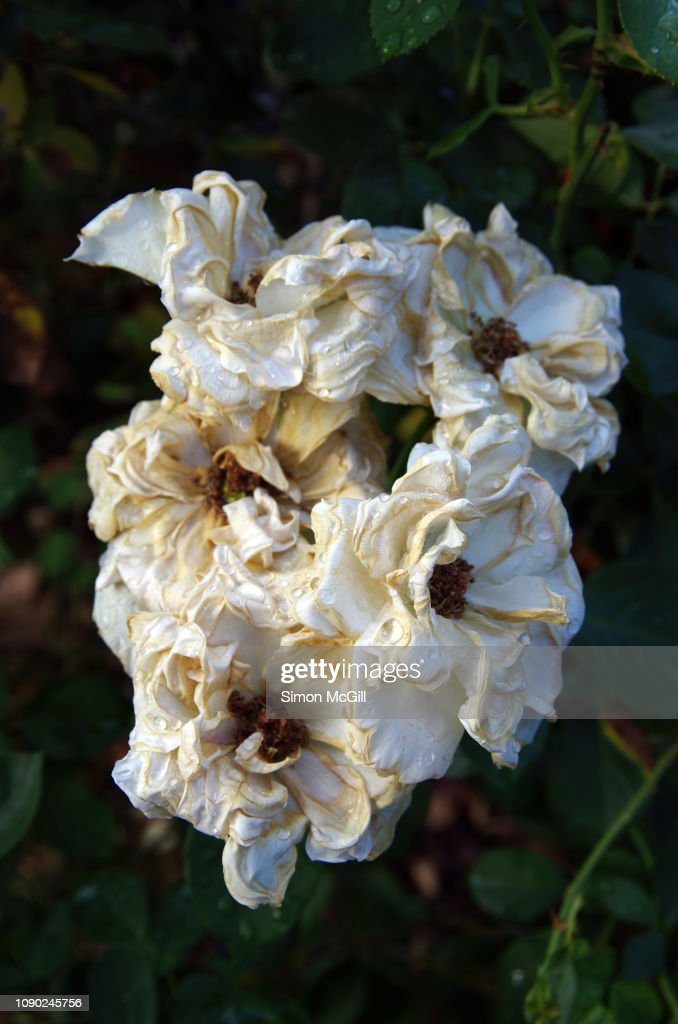 Wilted And Sun Dried Flowers Requiring Deadheading On A ...
