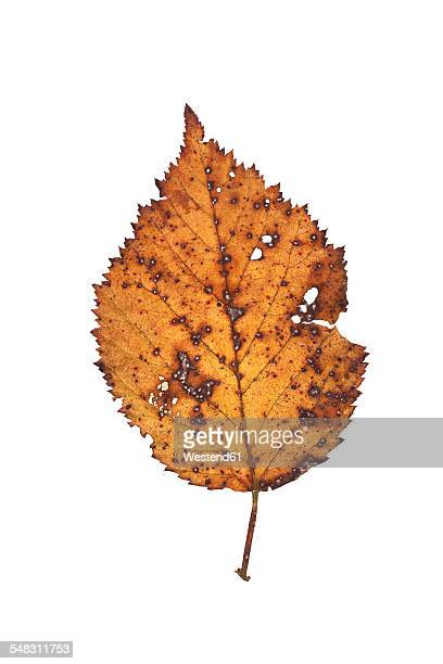 Wilted autumn leaf of beech tree
