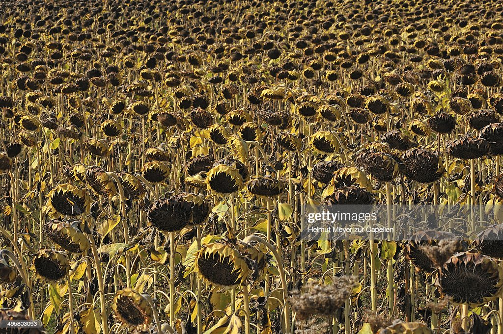 Wilted field of field of sunflowers -Helianthus annuus-, Knetzgau, Lower Franconia, Bavaria, Germany : Stock Photo