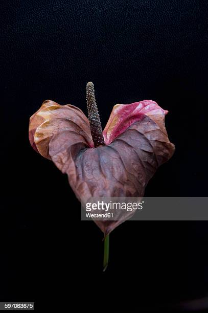 Wilted flamingo flower in front of black background