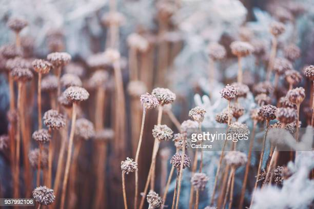 wilted flowers in winter sunlight - flower head stock pictures, royalty-free photos & images