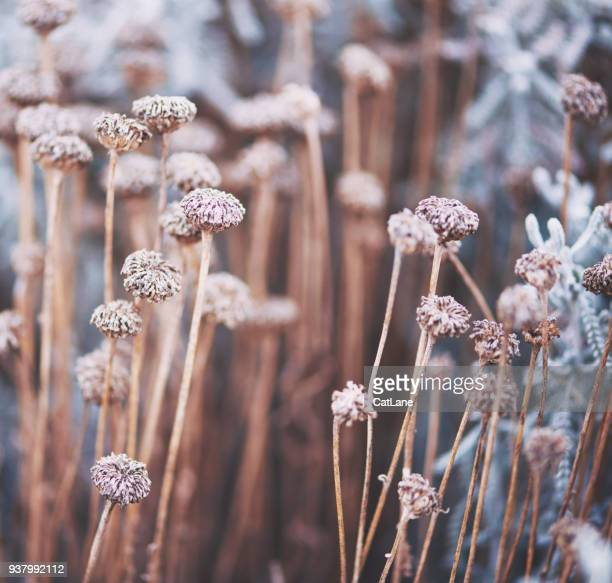 verwelkt bloemen in winter zonlicht - bruin stockfoto's en -beelden
