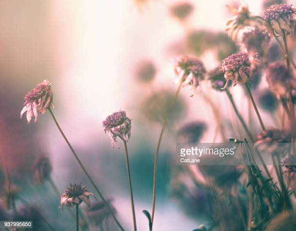 wilted flowers in winter sunlight - wilted plant stock pictures, royalty-free photos & images