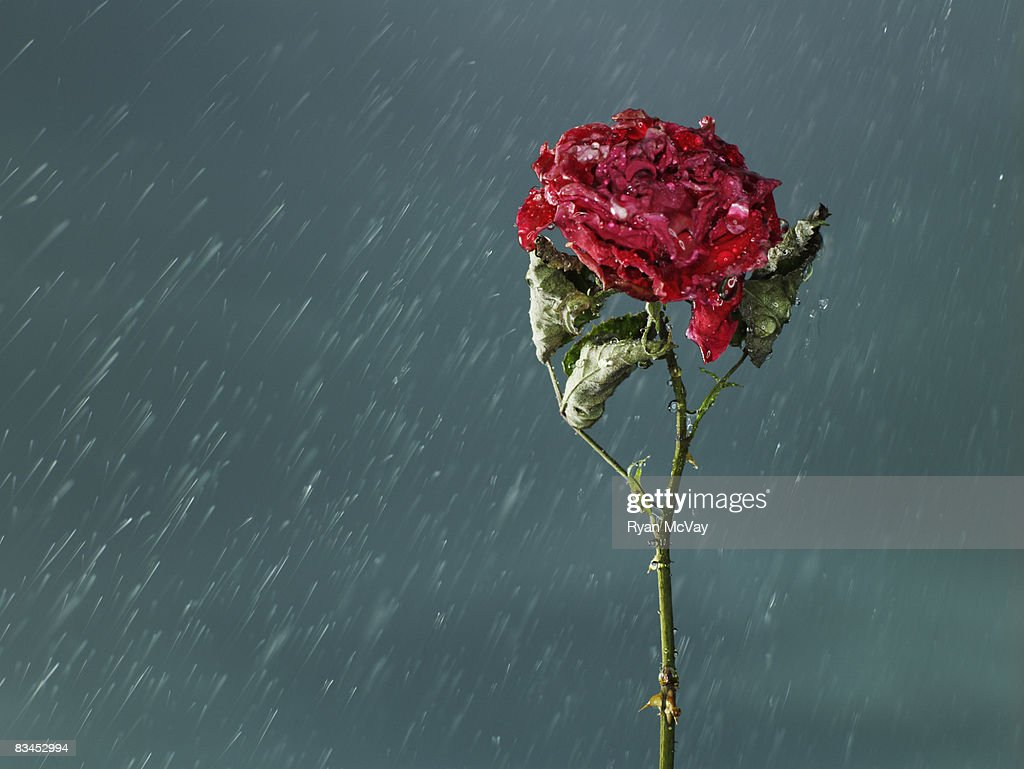 Wilted rose in rain. : Stock Photo