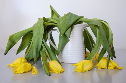 Wilted yellow tulips in vase - gettyimageskorea