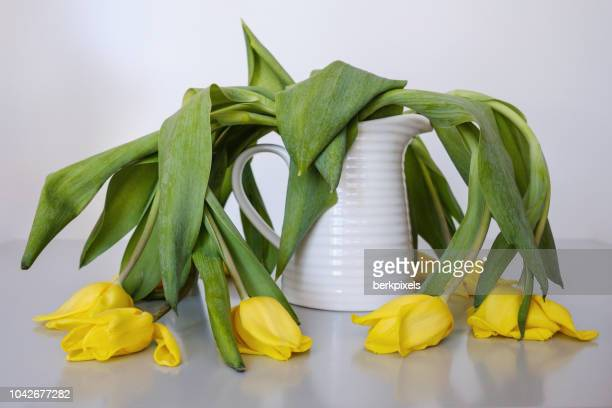 wilted yellow tulips in vase - deterioration stock pictures, royalty-free photos & images