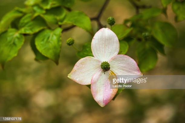 wilting dogwood bracts - kousa dogwood stock pictures, royalty-free photos & images