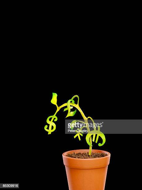 Wilting money tree in a pot.