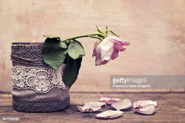 wilting pink rose - fading stock pictures, royalty-free photos & images