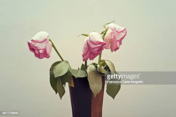 wilting pink rose - morte - fotografias e filmes do acervo