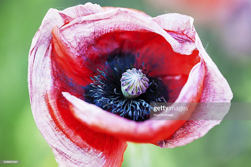 wilting poppy flower head : Stock Photo