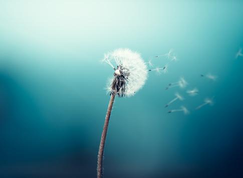 Wind Blowing Dandelion 507210604
