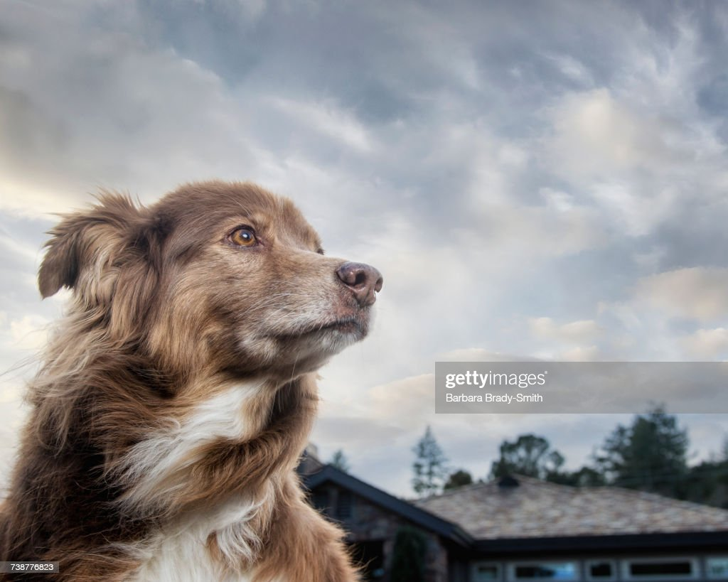 Wind blowing fur of dog near house : Stock Photo
