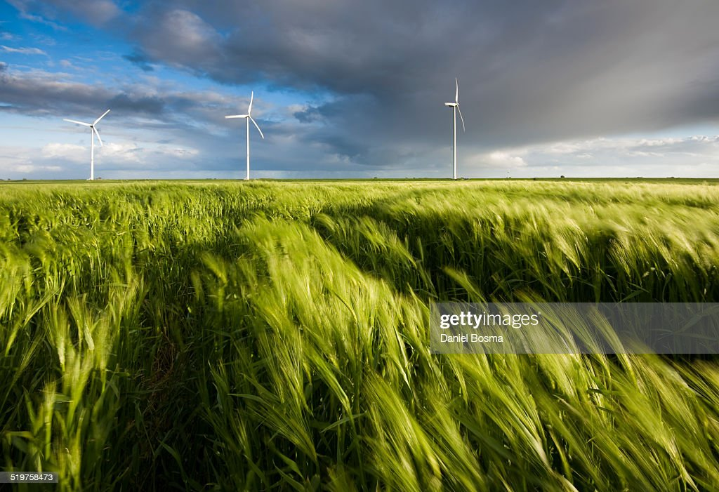 Wind blowing through field of grain : Stock Photo