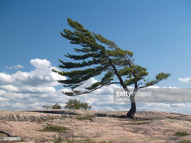 Wind Blown Pine