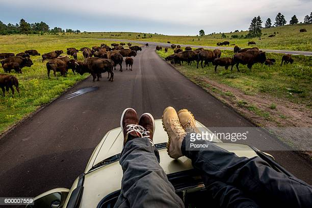 wind cave bison herd - black hills stock pictures, royalty-free photos & images