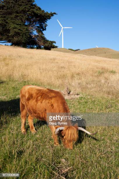 Wind farm cow grazing