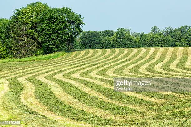 wind rows of alfalfa hay in wisconsin - iowa_county,_wisconsin stock pictures, royalty-free photos & images