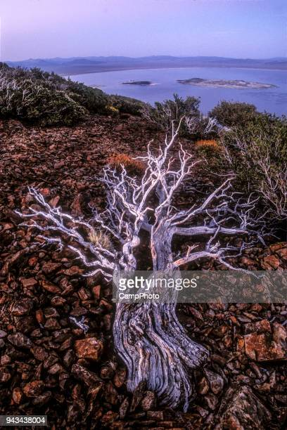wind sculpted tree - great basin stock pictures, royalty-free photos & images