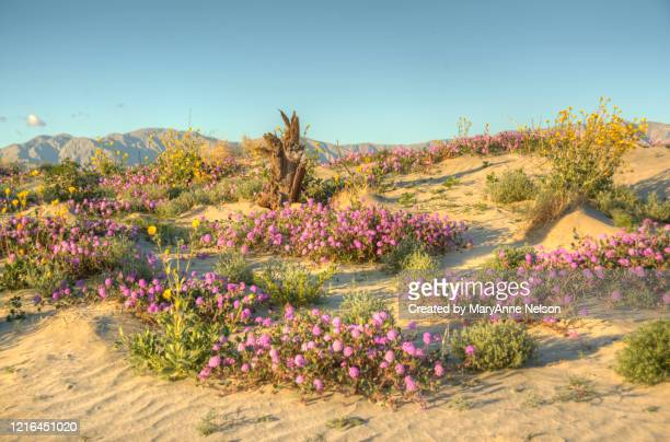 wind swept sand dune full of blooming wildflowers - indio california stock pictures, royalty-free photos & images