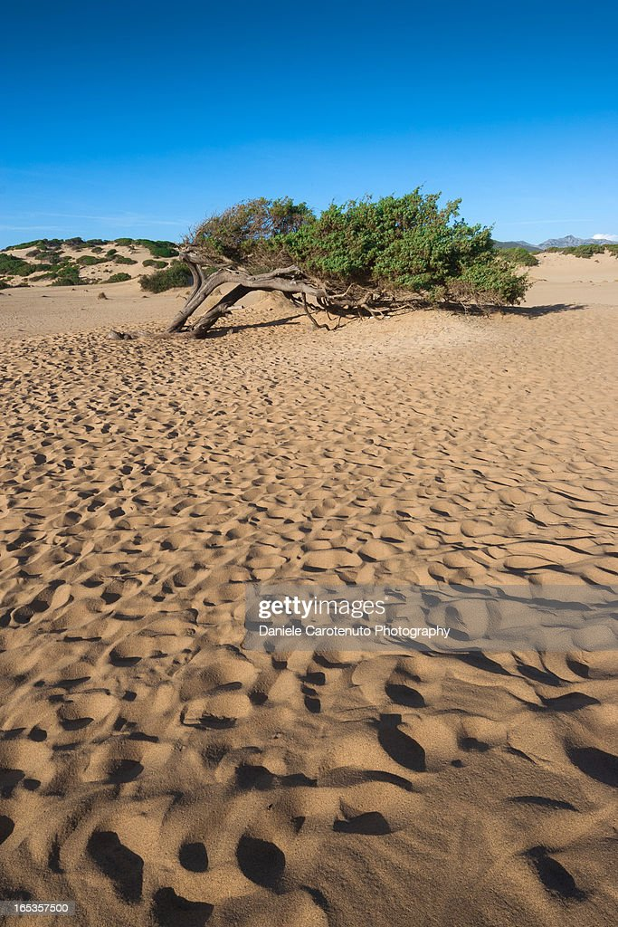 Wind tree and dunes : Stock Photo