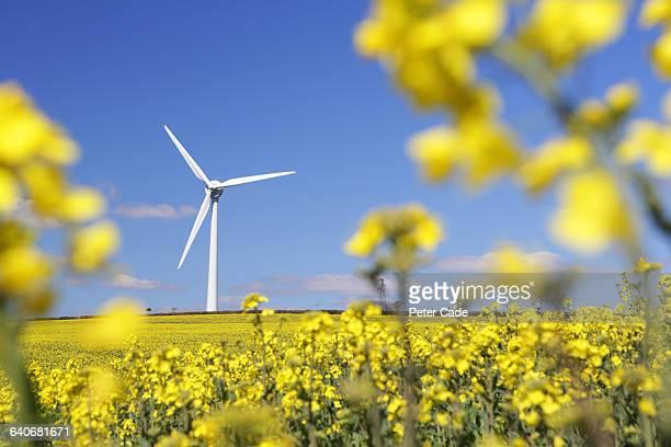 Wind turbine in rapeseed field