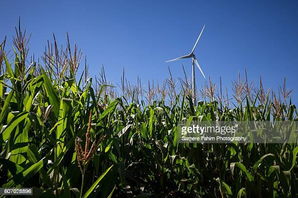 Wind Turbine On Maize Field