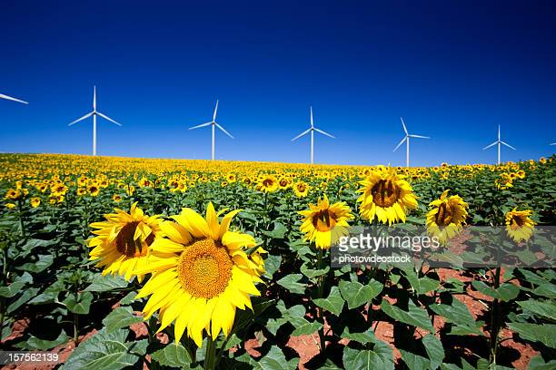 Wind turbines and sunflowers