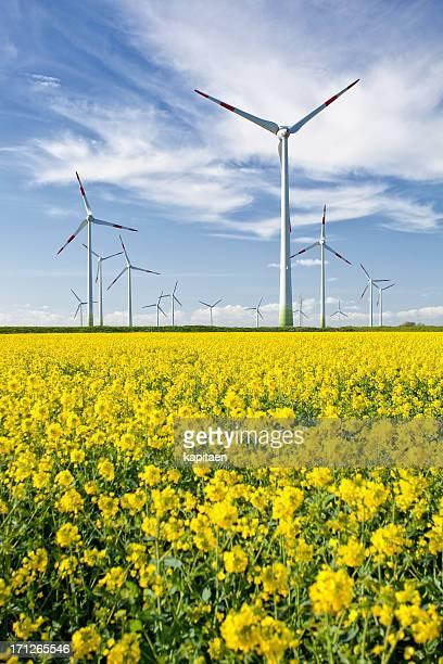 Wind turbines in a rape field