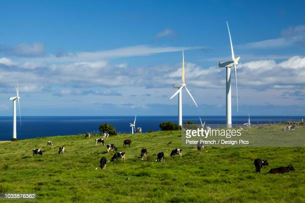 Wind turbines on a wind farm and cattle in a pasture, Upolu Point, North Kohala