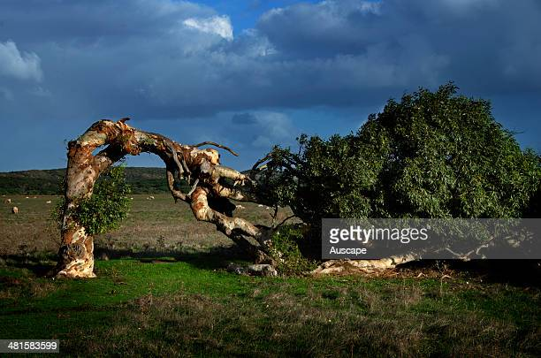 Windblown tree pummelled by the southerly saltladen winds off the Indian Ocean a feature of the town and a regional icon Greenough Geraldton Mid West...