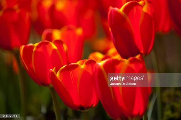 Wind-blown tulip blossoms.