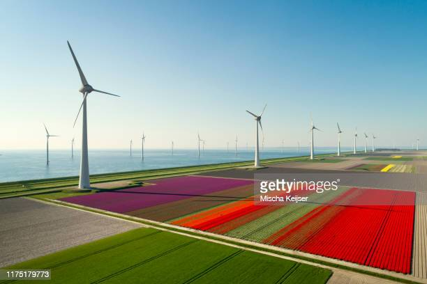 windfarms both on and offshore, blossoming bulb fields in polder, urk, flevoland, netherlands - solidità foto e immagini stock