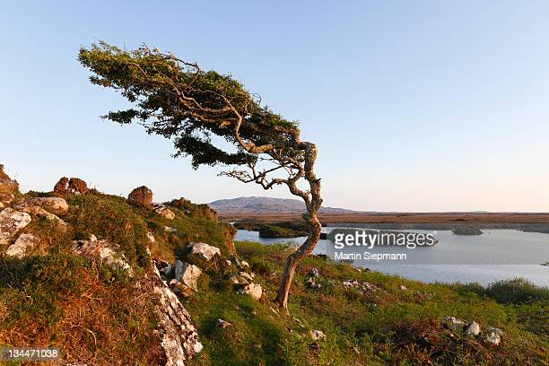 Wind-formed tree, Emlaghmore, Connemara, County Galway, Republic of Ireland, Europe