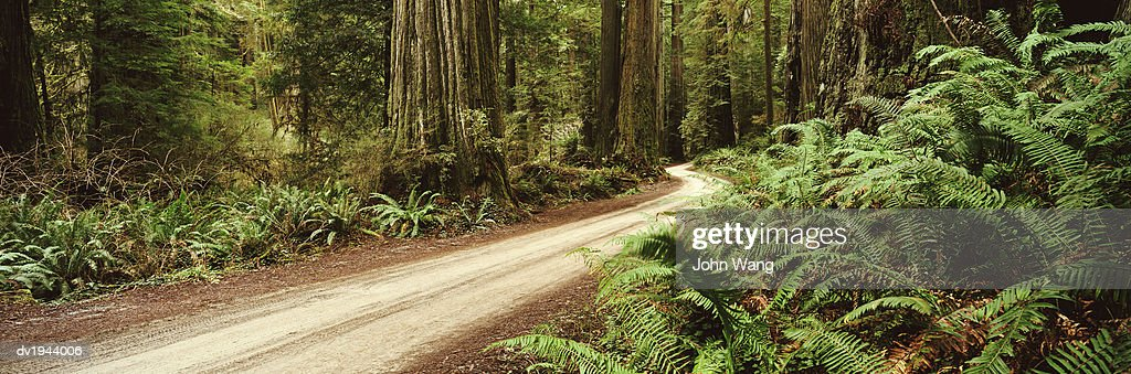 Winding Dirt Road, Redwood National Park, California : Stock Photo