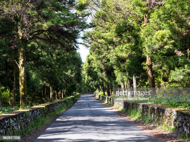 Winding road with rows of big trees to the sides crossing a forest in of the Terceira Island in the Azores, Portugal.